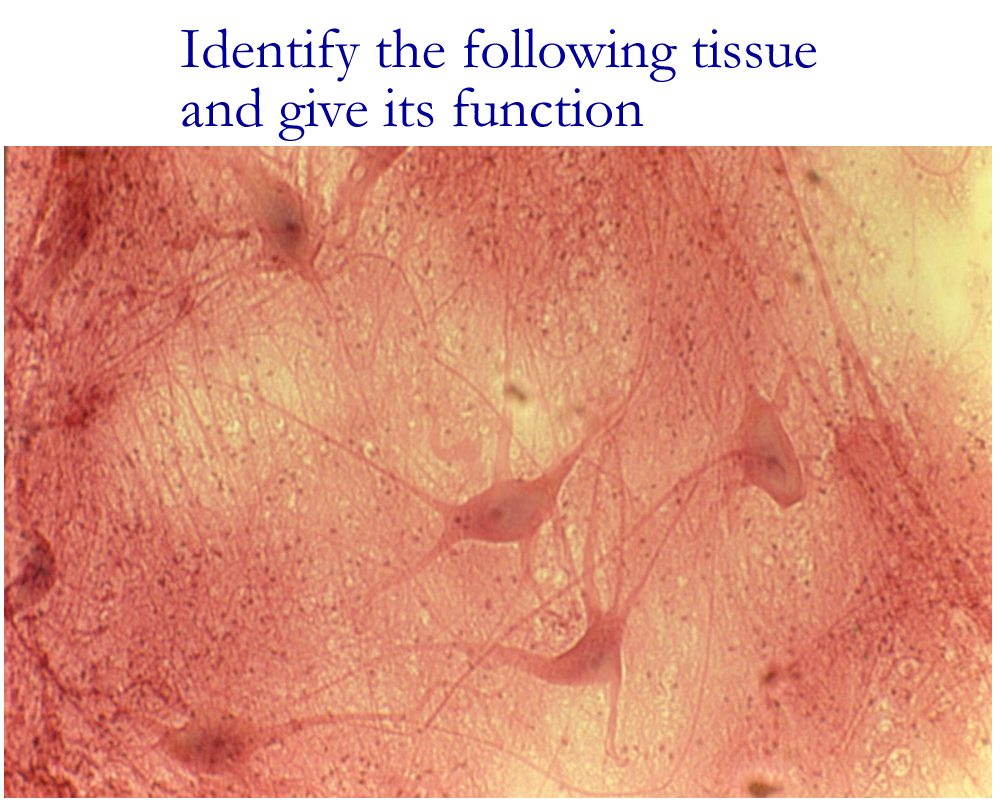 Biology 2404: Tissues