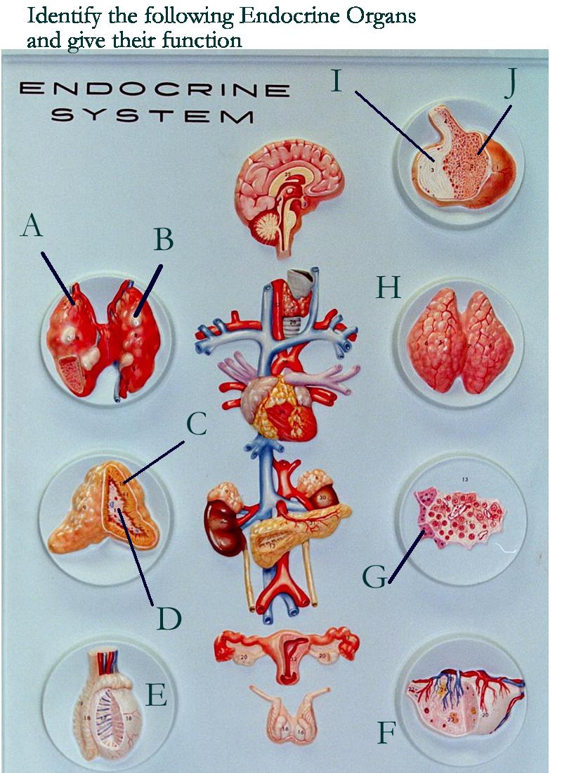 Exer Endocrine System Wm Id