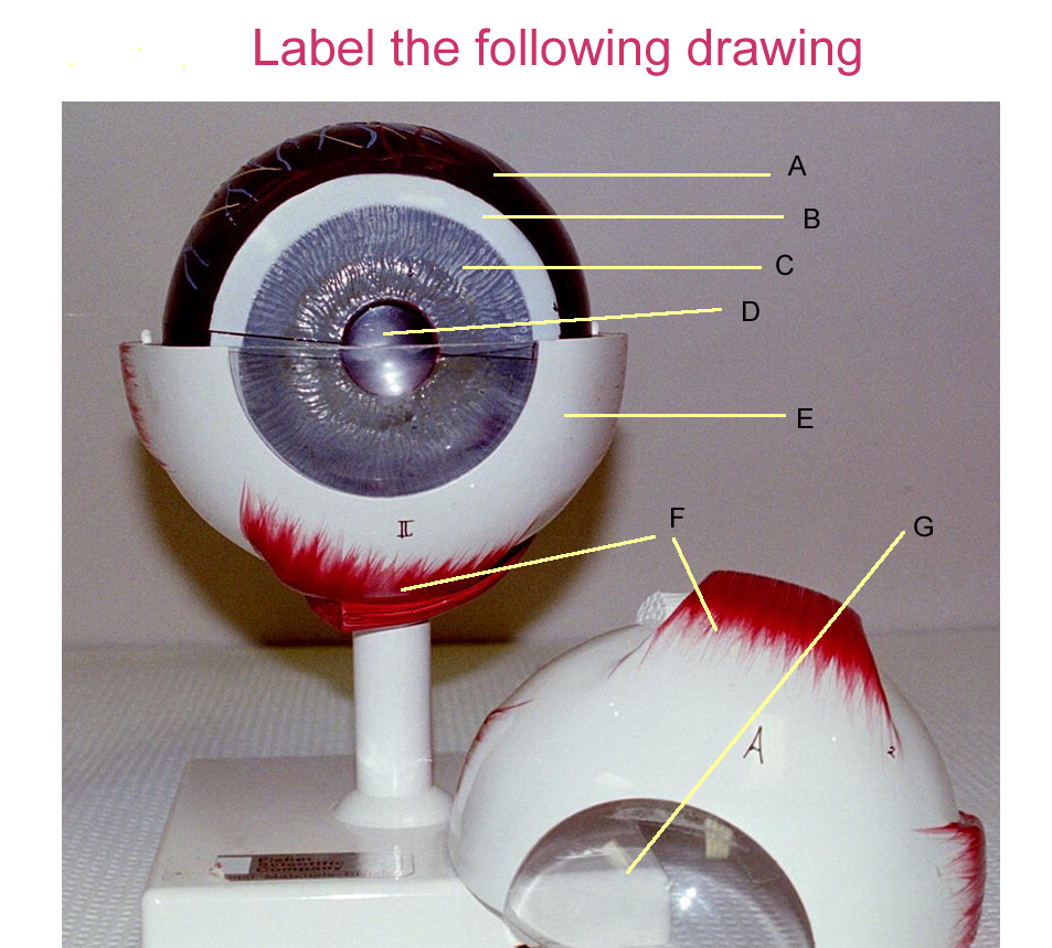 Attractive Eye Models For Anatomy Elaboration - Physiology Of Human ...