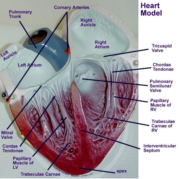Heart : Gross Anatomy