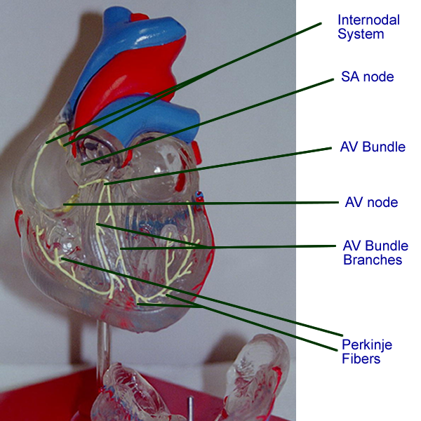 Heart Conduction System Anatomy Image collections - human body anatomy