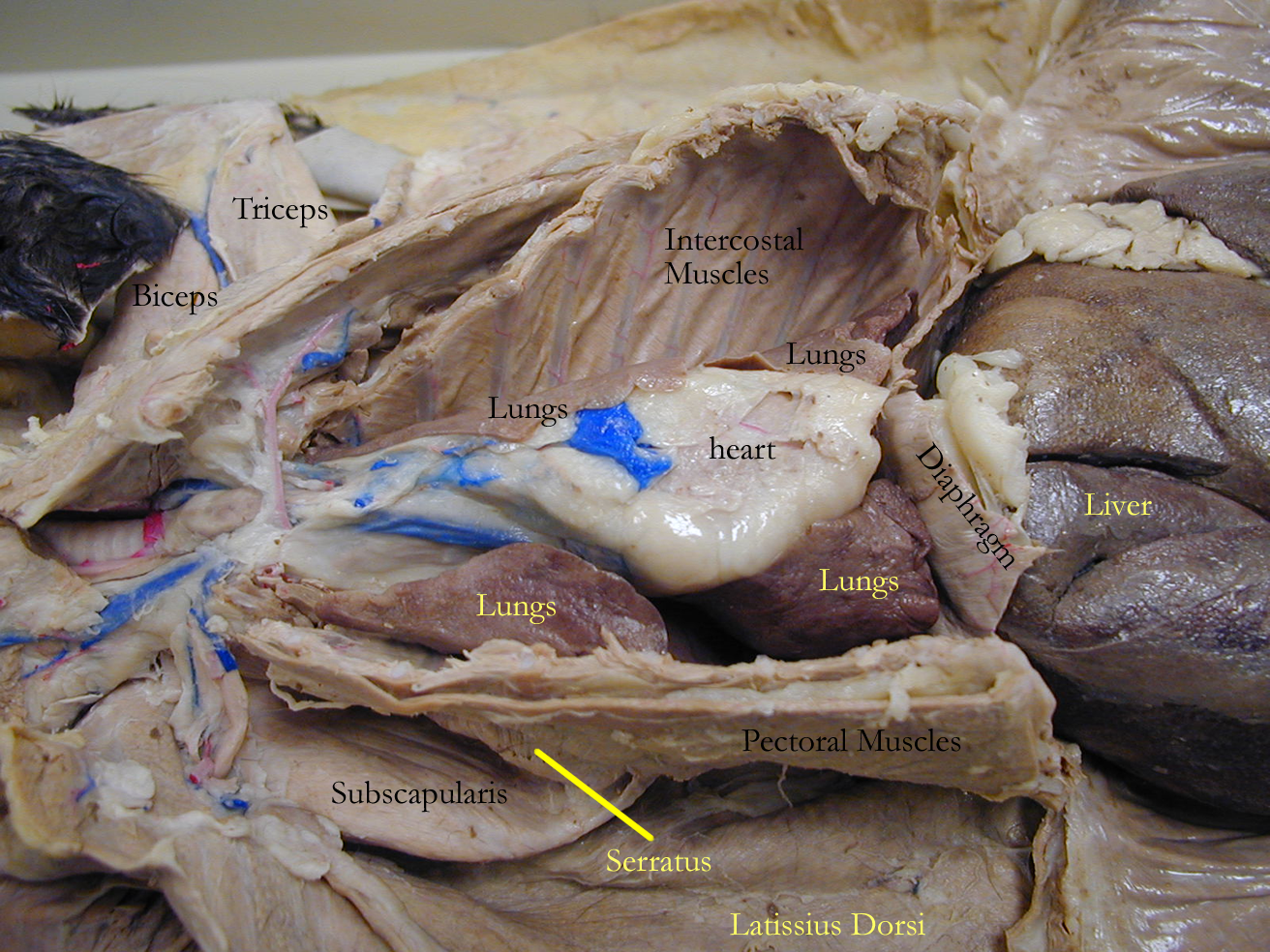 Biology 2404 Ap Basics Chicken Leg Dissection Diagram For Pinterest Specimens Cat Thorax Abdomen