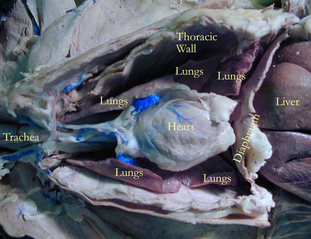 Dorable Cat Anatomy Thoracic Cavity And Heart Composition ...