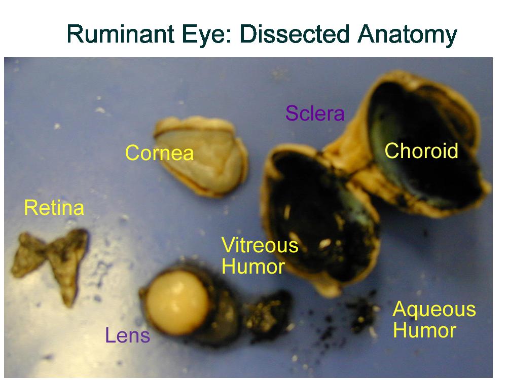 Biology2404 AP Basics – Sheep Eye Dissection Worksheet