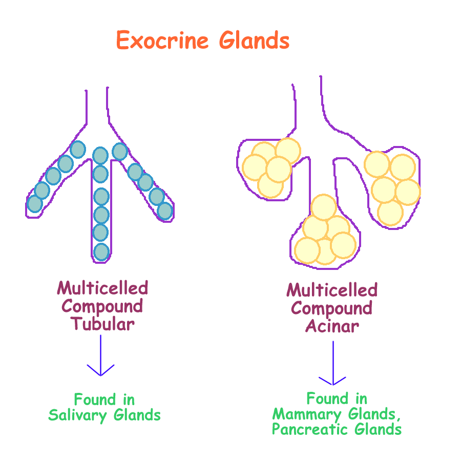 exocrine glands What is the difference between endocrine and exocrine glands endocrine glands secrete hormones while exocrine glands secrete enzymes endocrine glands are.
