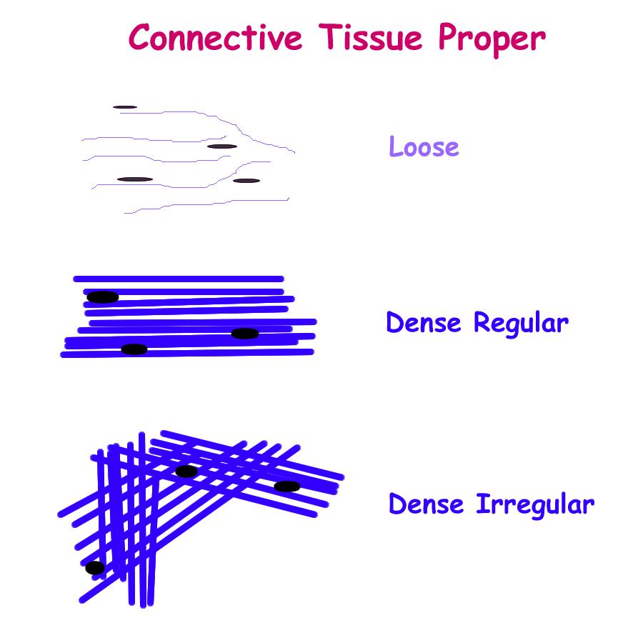 Biology 2404: Tissues