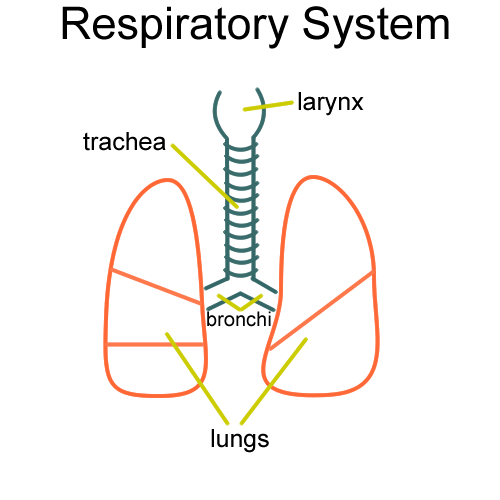 Biology 2404 ap basics respiratory system drawing ccuart Choice Image