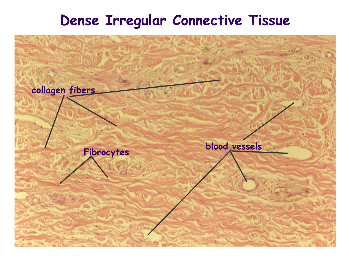 Adipose Connective Tissue Labeled Diagram