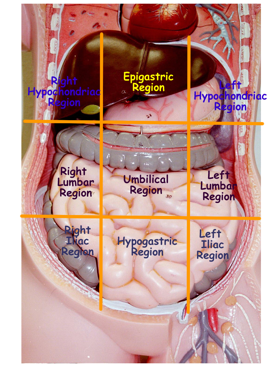 Allows For Localization Of Internal Body Organs Palpation During A Medical Exam See Text Book The Names Four Quadrants And Nine Regions