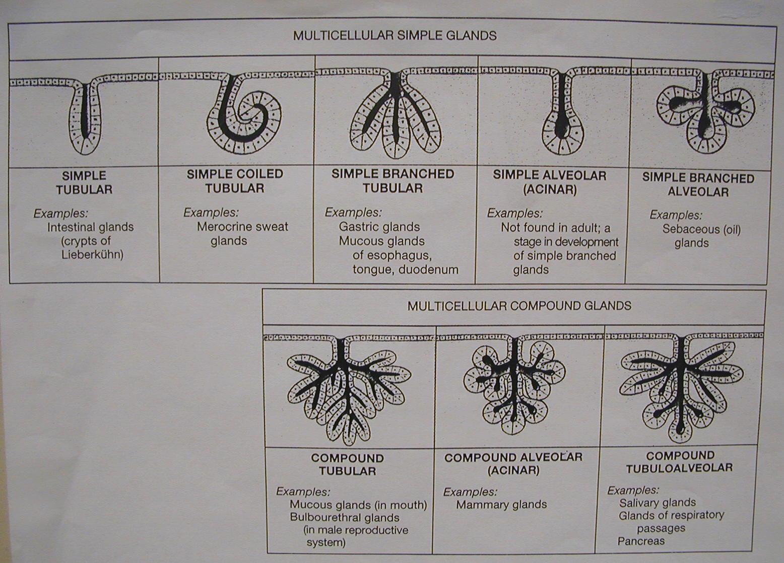 Biology 2404 Tissues