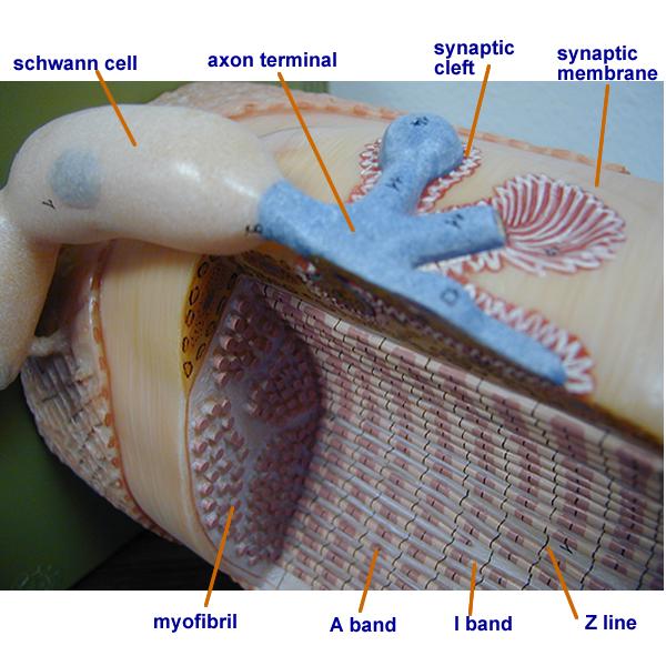 Biology 2404 A&P Basics