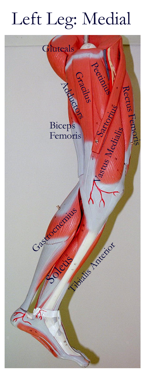 Muscles Model Labeled Cat Muscles Of The Lower Appendages David