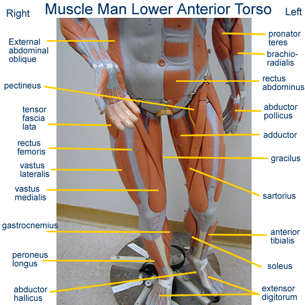 Muscle Man Model Anatomy Image collections - human body anatomy