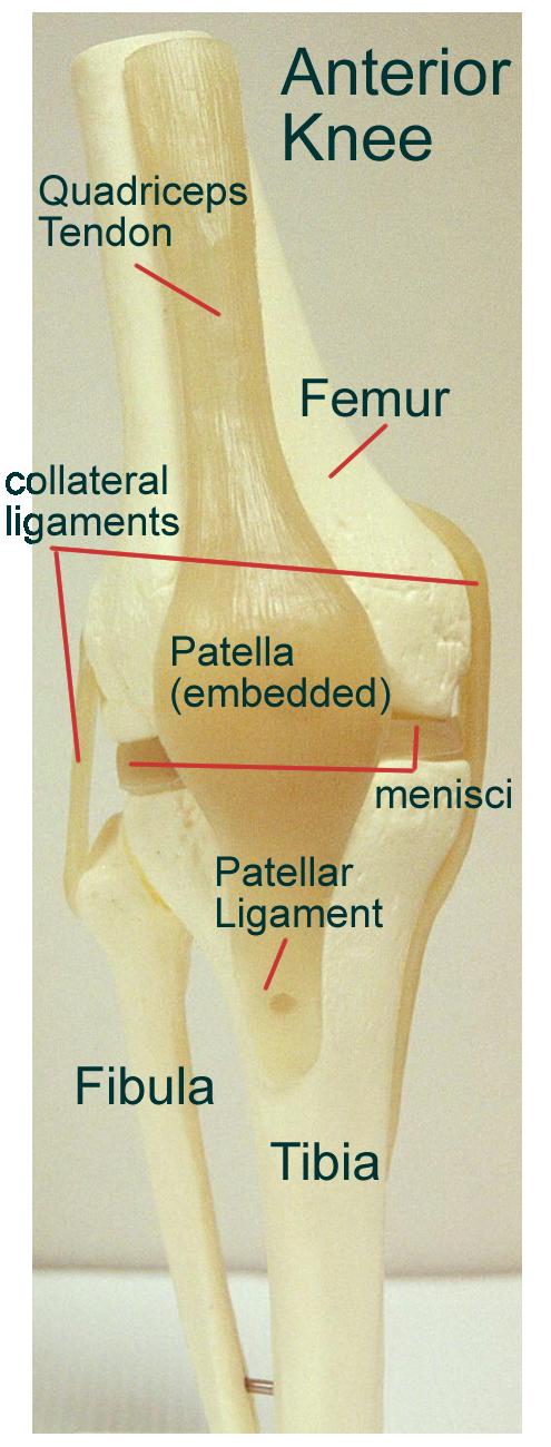 Biology 2404 A P Basics A plate of hyaline cartilage unites the bones. biology 2404 a p basics