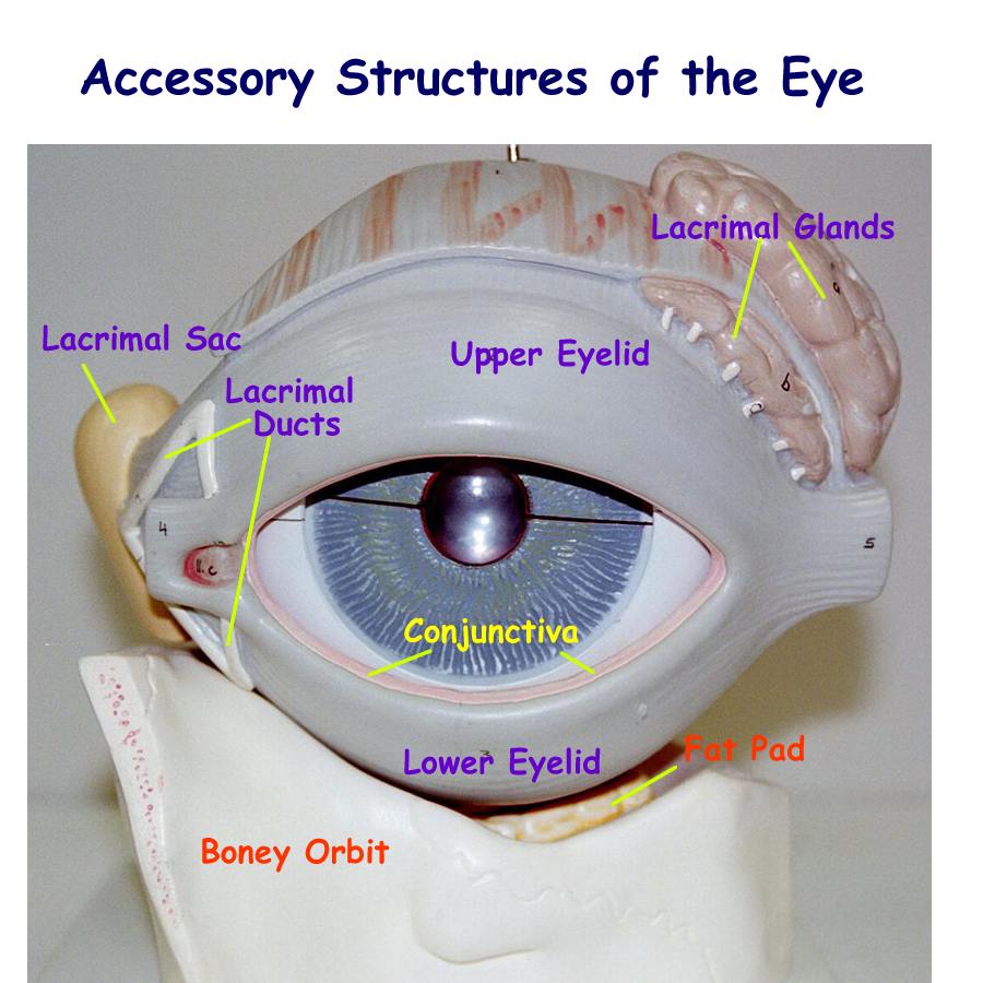 Pictures Of Nasolacrimal Duct Eye Model Rock Cafe