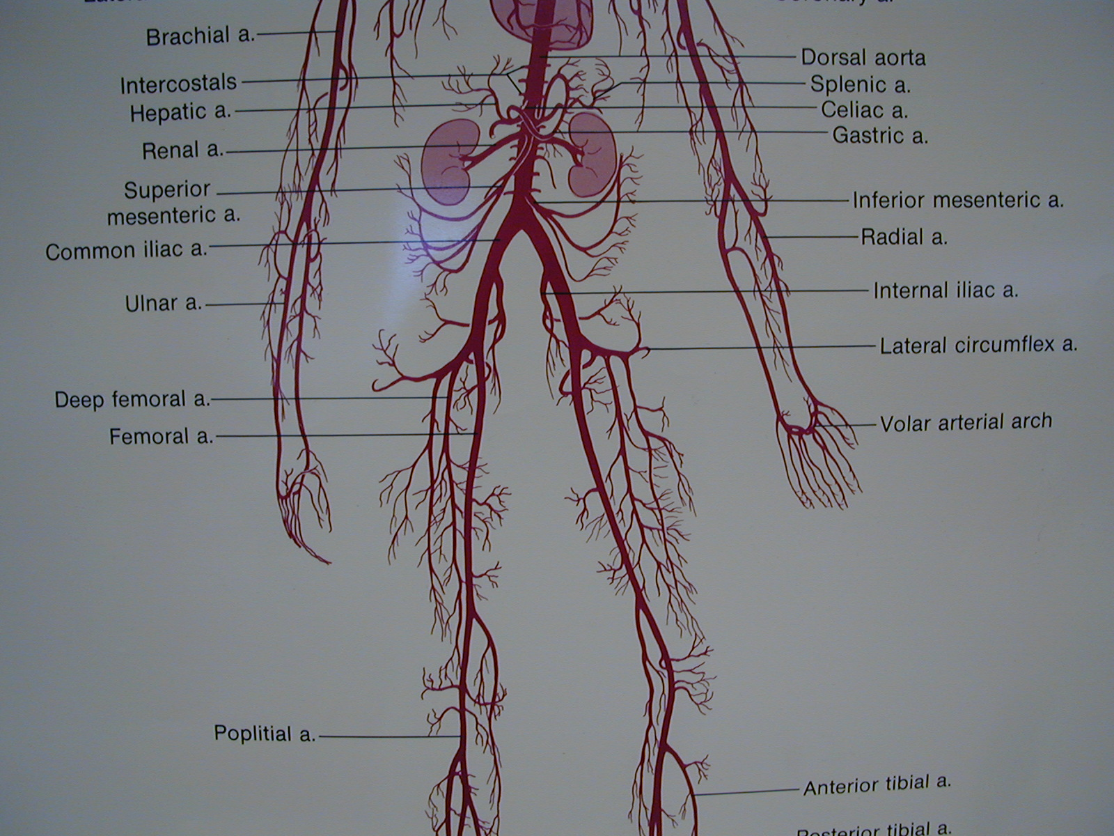 Circ Vessel Man Arterial Poster Middle Lower