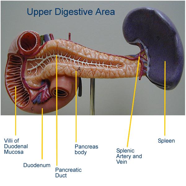 Small Intestine: Digestive Models