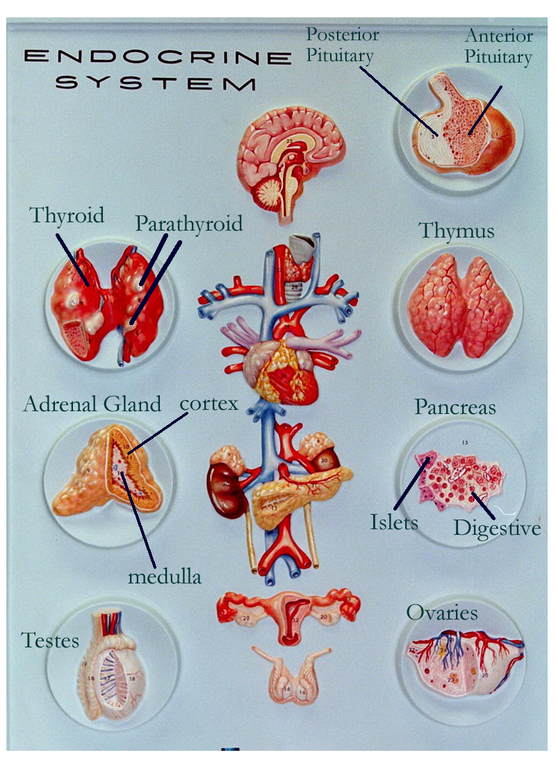Endocrine Organs On Models And Diagrams Block And Schematic Diagrams