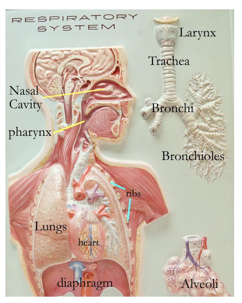 Respiratory system model labeled for Model flat pictures