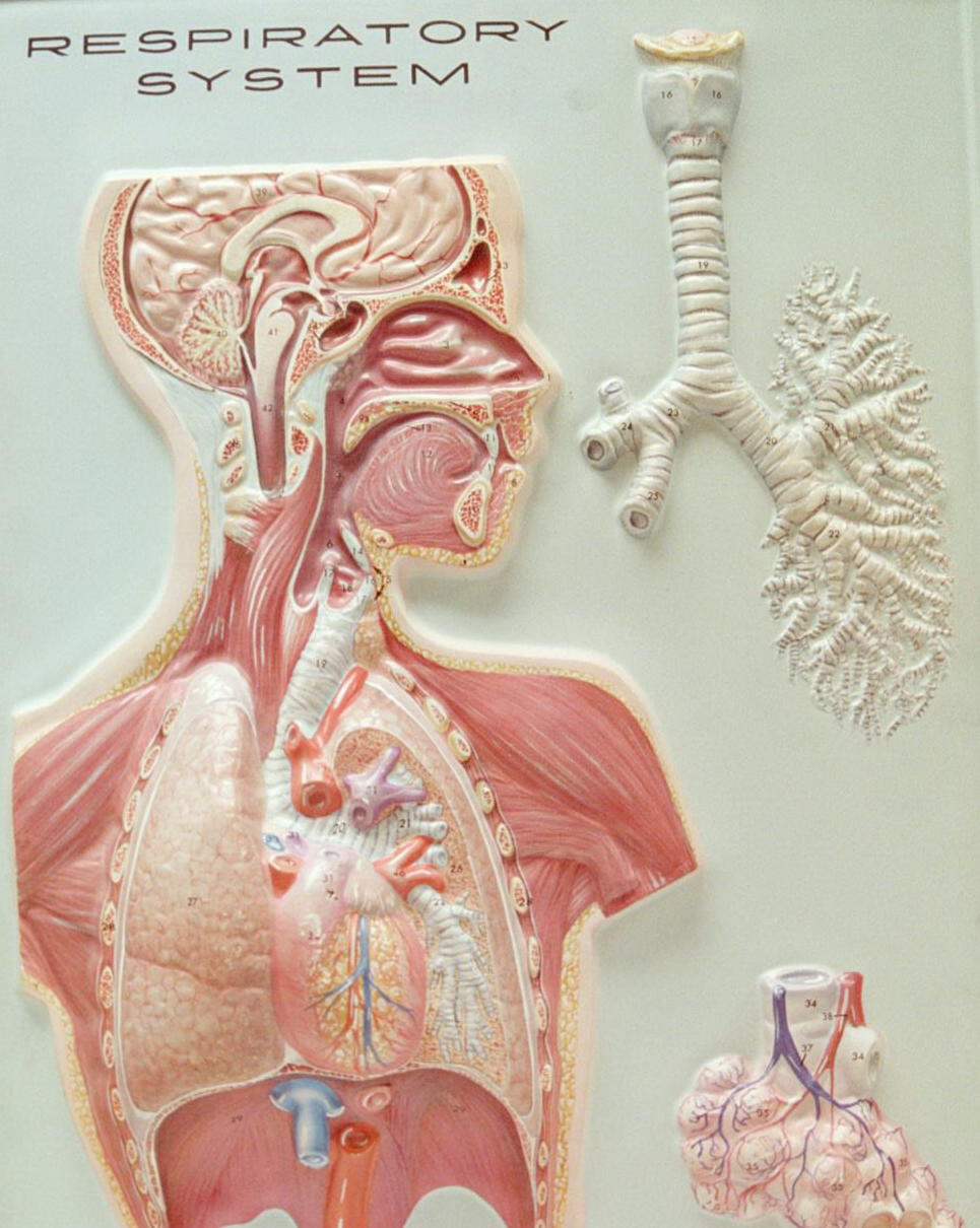Biology 2404 ap basics wall mount of respiratory system ccuart Gallery